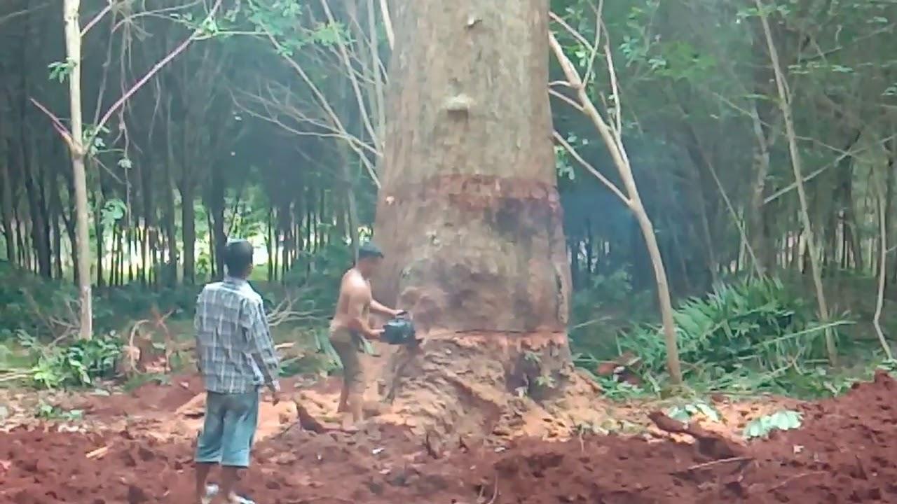 โค่นไม้ยางนาอายุกว่า 500 ปี