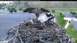 Iris Brings In Large Strip of Bark, Builds Up Rim Of Nest – July 12, 2018