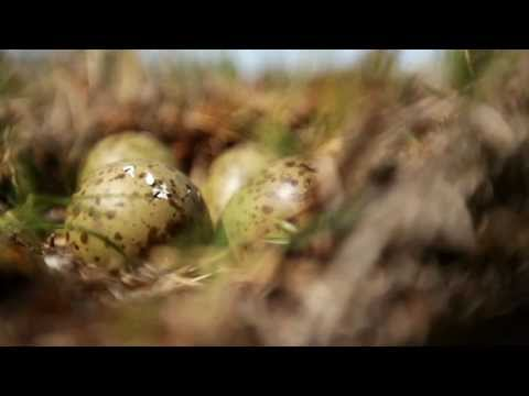 Whimbrel Hatch