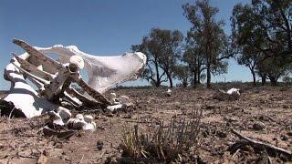 En Australie, des éleveurs face au défi de la sécheresse