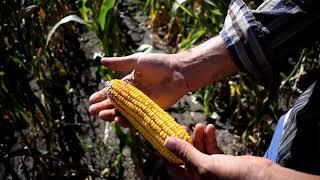 Останній огляд кукурудзи до збирання