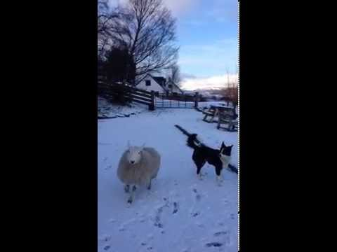 Pet the lamb that thinks it's a dog!