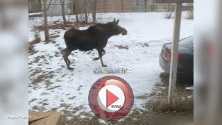 RAW: Moose jumps fence