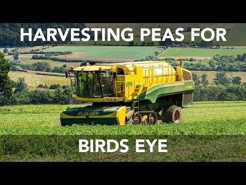 Pea Vining - The Green Pea Company