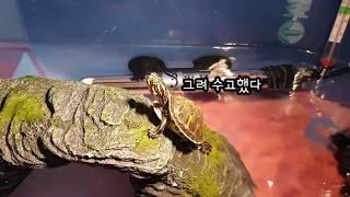 [거북이 키우기] 애완용 반수생 거북이의 종은 무엇일까…