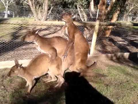 Confused kangaroo threesome. FUNNY! - YouTube