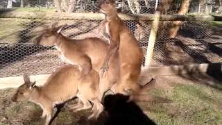 Confused kangaroo threesome. FUNNY!