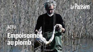 Grèce : des flamants roses empoisonnés par les plombs des chasseurs