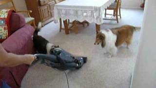 Out Of Control Shelties: Top 10 Things That Set Them Off