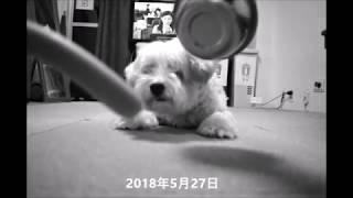 dog eating sausage [asmr sound] 犬とソーセージ 咀嚼音 チャイニー...