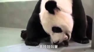 прикольное видео про панду, срочно посмотри