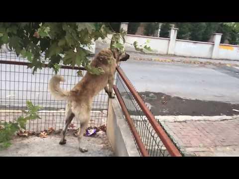 Kangal Köpek KRİZ GEÇİRİYOR..!