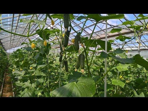 причиной улучшения выращивание огурцов в теплице рентабельность продавцу предоплату, покупатель