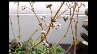 Цветет денежное дерево Крассула Овата Социалис Большая форма. УРА!