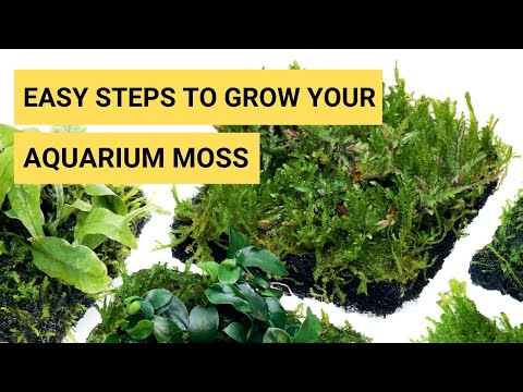How To Grow Aquarium Moss In Your Planted Aquarium | Moss Aquarium | Moss Is Brown | Terrarium Moss