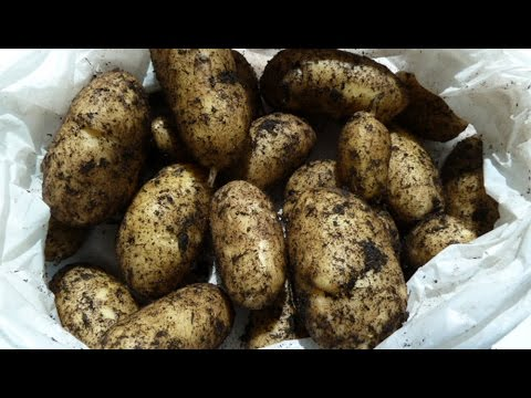 allotment-diary-:-90-day-container-grown-potato-harvest-in-small-pots