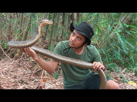 King cobra penunggu hutan bambu