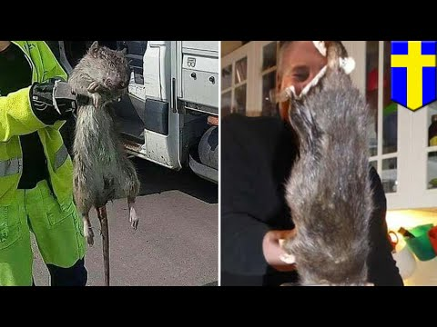 Giant rodent: Ratzilla caught in Sweden - TomoNews