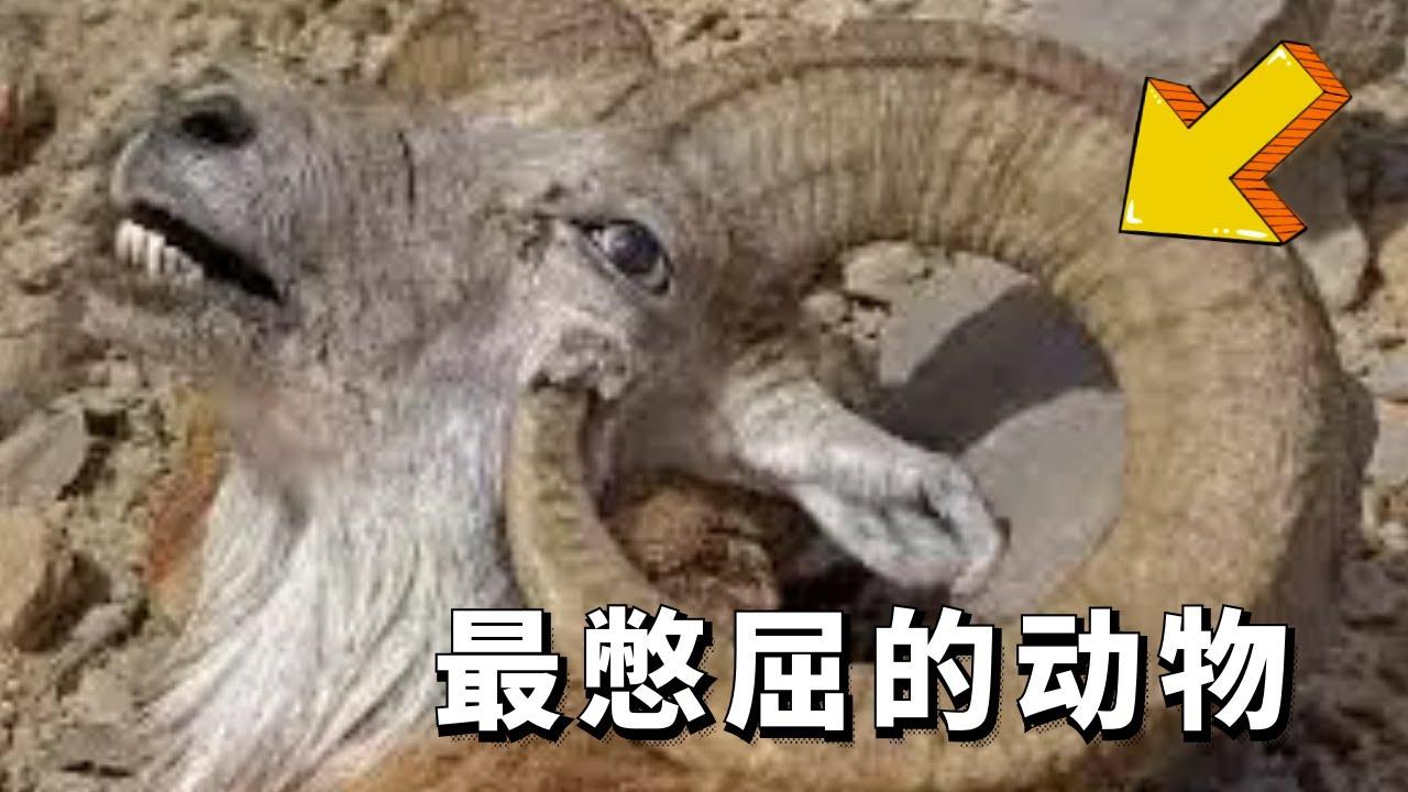 """世界最""""憋屈""""的动物,能够躲过天敌,却可能被自己杀死!"""