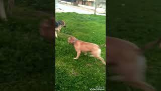 Pitbull VS Sokak Köpeği (KAVGA)