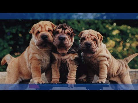Top 5 Cutest Dog Breeds in the World - Part 01