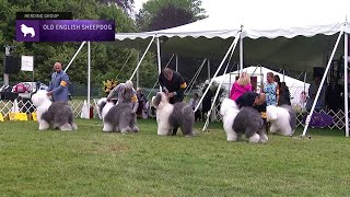 Old English Sheepdogs | Breed Judging 2021