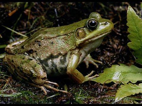 Frog Croaks/Le chant de la grenouille