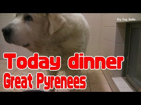 【Great Pyrenees】Today's dinner 【Big Dog】