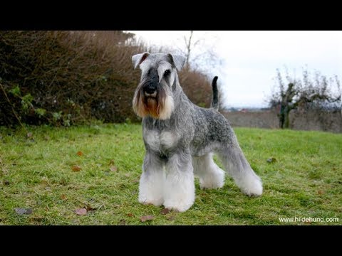 Standard Schnauzer / Dog Breed