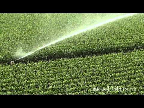 Irrigation d'une parcelle de maïs au stade Floraison