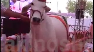 Cows do the Ramp walk in Rohtak
