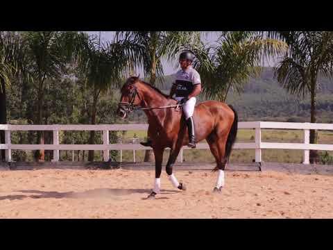 Lote 08 - Igor dos Pinhais - Cavalos puro sangue Lusitanos - Coudelaria aguilar