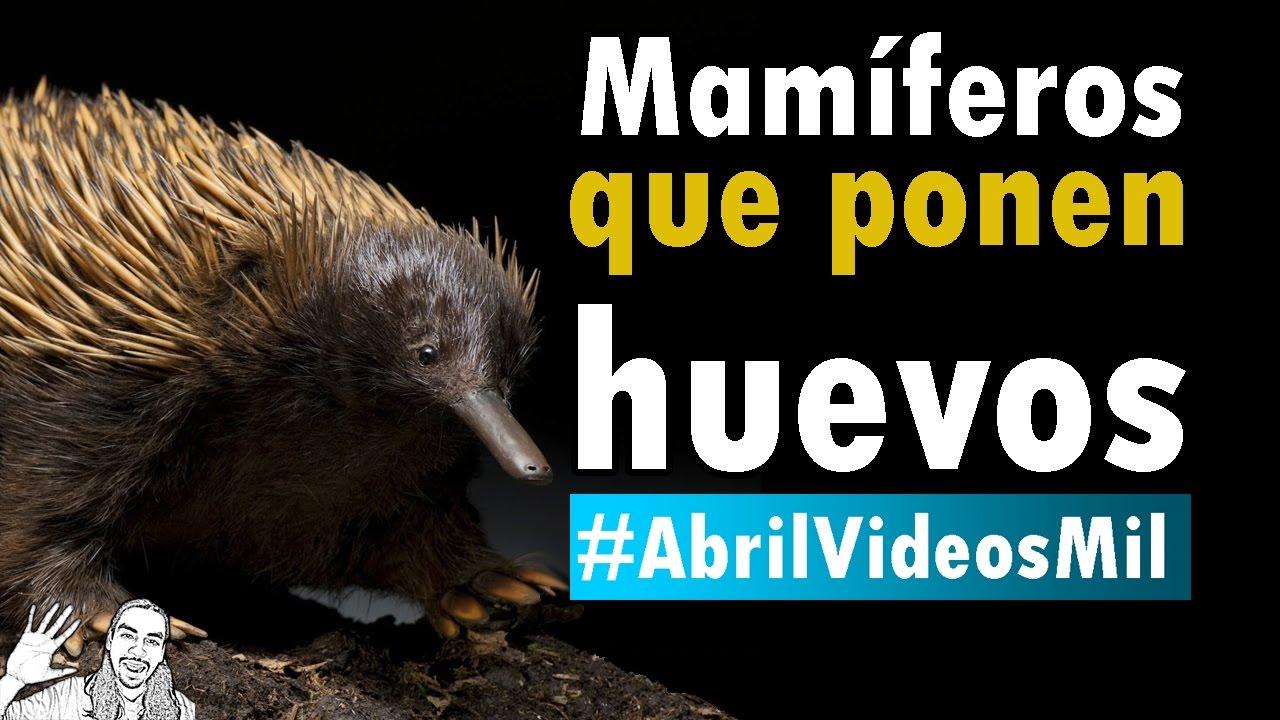 Mamíferos que Ponen Huevos | #AbrilVideosMil | 01