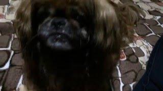 Здоровое питание. Самая лучшая собака кушает пророщенную пшеницу. Любимый пекинес Лорд.
