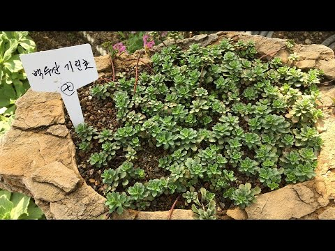 바위솔.백두산★기린초★등(2017제천한방..)Bokdusan Giraffe plant variety plants