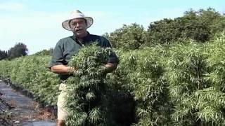 Podocarpus Care Instructions