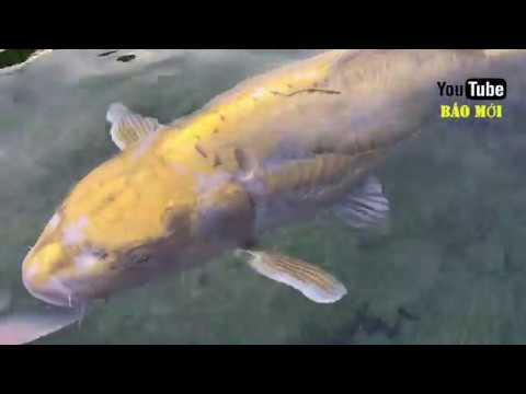 Xuất hiện đàn cá Koi 22 tỷ ở Sài Gòn chất lừ