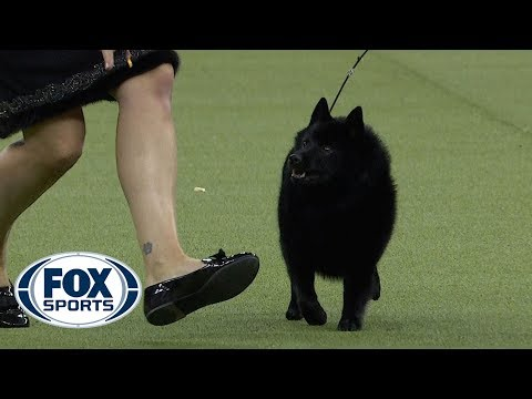 Group judging for the NonSporting Group at the 2019 Westminster Kennel Club Dog Show | FOX SPORTS