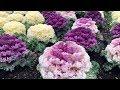 Ornamental Kale | Blue Mountains Botanic Gardens in Mount Tomah
