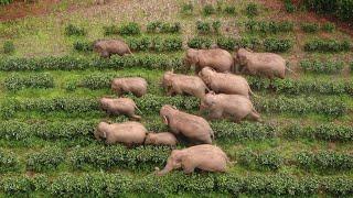 Update of China's wandering Asian elephant herd