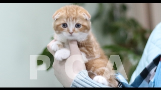 Шотландские котята питомника PCA Фаворит Плюш