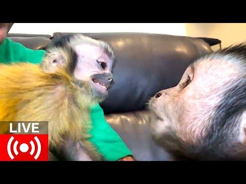 capuchin-monkey-brothers-live-giveaway