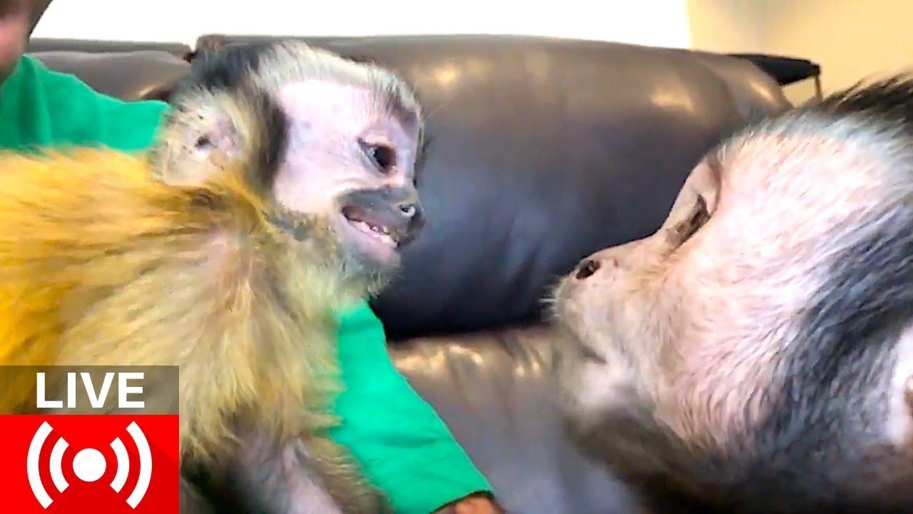Capuchin Monkey Brothers LIVE! (GIVEAWAY) - YouTube