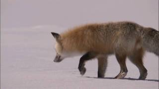Red Fox - Hunts mice under snow [ incredible way ]