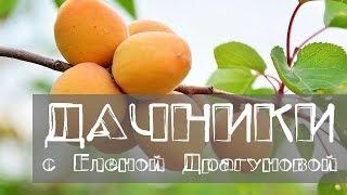 Дачники. Абрикос - 2 часть. Сорта абрикоса, которые хорошо растут в Сибири