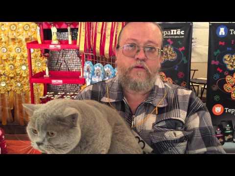 Хайленд фолд: фото кошки, цены, описание породы, характер