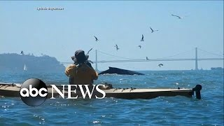 Humpback Whale Feeding Frenzy Caught on Tape
