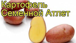 Картофель семенной Атлет. Краткий обзор, описание характеристик, где купить картофель