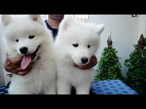 Show quality Samoyed Puppies available for Sale. Samoyed Puppy Pair Available India.