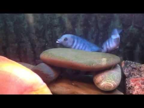 голубой дельфин - Cyrtocara Moorii. Первый Нерест